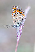 Common Blue (Polyommatus icarus), old individual, Vaucluse, France.