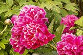 Garden peony (Paeonia lactiflora) 'Irwin Altman' Obtenteur : Kelway 1940