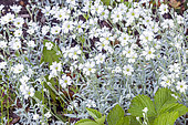 Creeping Baby's breath (Gypsophila repens) 'White Angel', flowers
