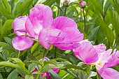 Garden peony (Paeonia lactiflora) 'Honor'. Breeeder : Saunders 1941