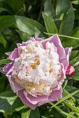 Garden peony (Paeonia lactiflora) 'Jeanne d'Arc' Obtenteur : Calot 1858