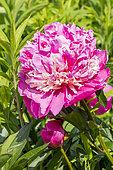 Garden peony (Paeonia lactiflora) 'Alexandre Dumas' Obtenteur : Guérin 1862