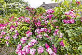 Modern Hybrid Rose (Rosa x) 'Marjorie Fair' and 'Angela', Ecole du Breui, Paris, France