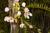 Philippine ground orchid (Spathoglottis plicata) flowers, New Caledonia