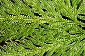 Spikemoss (Selaginella megastachya), New Caledonia