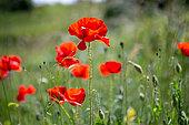 Poppies (Papaver rhoeas), Aveyron, France
