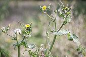 Common Sowthistle (Sonchus oleraceus), France