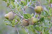 Kermes Oak (Quercus coccifera) acorns on tree in autumn, Gard, France