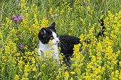 Black and white kitten, European house cat, in a flowery meadow, Lorraine, France