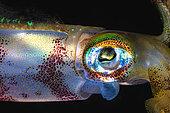 Yeye of Bigfin reef squid (Sepioteuthis lessoniana), Rajat Ampat, New Guinea