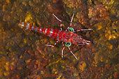 Green-eyed shrimp (Urocaridella antonbruunii) ont reef at nigh, Mayotte