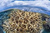 """Corail branchu. Un corail branchu appellé aussi """"Corail corne de cerf"""" photographié dans les piscine du sud de Mayotte lors d'une grande marrée basse."""
