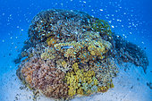 Hard and soft corals in the lagoon of Mayotte.