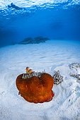 Skunk Clownfish (Amphiprion akallopisos) on a red sea anemone on white sand, Mayotte