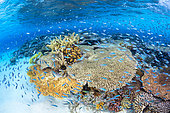 Tabular corals and tropical fish. Magnificent coral reef on the white sand islet of M'Tsamboro, Mayotte