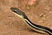 Portrait of Lateral water snake (Thamnosophis lateralis), Andasibe (Périnet), Alaotra-Mangoro Region, Madagascar