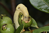 Light yellow slug (Elisolimax madagascariensis) synonym (Urocyclus madagascariensis) eating the fruit of Cattley's guava tree (Psidium cattleianum), Andasibe (Périnet), Alaotra-Mangoro Region, Madagascar