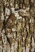 Mossy leaf-tail gecko (Uroplatus sikorae) Andasibe (Périnet) on bark, Alaotra-Mangoro Region, Madagascar
