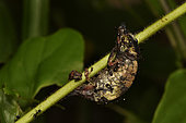 Nose-horned Chameleon (Calumma nasutum) fatally trapped by the short, hooked hairs of the Desmodium plant (Desmodium incranatum) which has immobilised it on a stem, Andasibe (Périnet), Alaotra-Mangoro Region, Madagascar