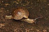 Land snail (Kalidos balstoni) in the forest crawling on a rock, Andasibe (Périnet), Alaotra-Mangoro Region, Madagascar
