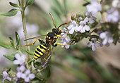 Cuckoo Bee (Nomada succincta) female on thyme, Mont Ventoux, France