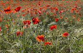 Poppies (Papaver rhoeas) in a barley field, Vosges du Nord Regional Nature Park, France