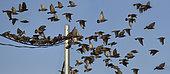 Starling (Sturnus vulgaris) in autumn migration, Languedoc coast, France