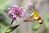 Broad-bordered Bee Hawk-Moth (Hemaris fuciformis)foraging a Red valerian (Centranthus ruber), mont Ventoux, France
