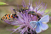 Pollination by Zygene (Zygaena fausta), Mining Bee (Halictus quadricinctus), Common Blue (Polyommatus icarus) and Cuckoo bee (Stelis signata) on a rare thistle in autumn, Ardèche, France