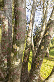 Japanese Red Pine (Pinus densiflora) 'Umbraculifera', Arboretum of the Ecole du Breuil, France