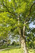 Black locust (Robinia pseudoacacia), Arboretum of the Ecole du Breuil, France