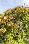 Goldenrain tree (Koelreuteria paniculata) in autumn, Arboretum of the Ecole du Breuil, France