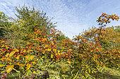 Hawthorn (Crataegus venustula) fruits in autumn, Arboretum of the Ecole du Breuil, France