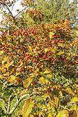 Aubépine (Crataegus venustula) fruits en automne