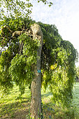 Japanese pagoda tree (Sophora japonica) 'Pendula'