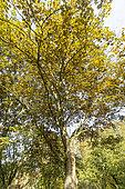 Sycamore maple (Acer pseudoplatanus) 'Purpureum' in autumn, Arboretum of the Ecole du Breuil, France