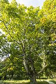 Norway maple (Acer platanoides) in autumn, Arboretum of the Ecole du Breuil, France