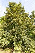Bigleaf Linden (Tilia dasystyla caucasica), Arboretum of the Ecole du Breuil, France