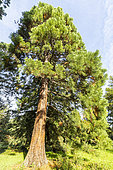 Redwood (Sequoia sempervirens), Arboretum of the Ecole du Breuil, France