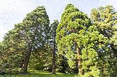 Giant sequoia (Sequoiadendron giganteum) and Redwood (Sequoia sempervirens), Arboretum of the Ecole du Breuil, France
