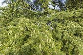 Deodar cedar (Cedrus deodara) 'Aurea', Arboretum of the Ecole du Breuil, France