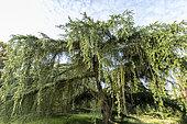 Blue Atlas cedar (Cedrus libani ssp. atlantica) 'Glauca', Arboretum of the Ecole du Breuil, France