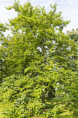 European Date Plum (Diospyros lotus), Arboretum of the Ecole du Breuil, France