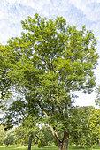 Green ash (Fraxinus pennsylvanica), Arboretum of the Ecole du Breuil, France
