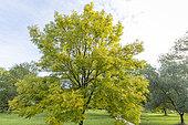 European ash (Fraxinus excelsior) 'Jaspidea', Arboretum of the Ecole du Breuil, France
