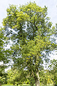 Narrow-leaved Ash (Fraxinus angustifolia var lentisafolia), Arboretum of the Ecole du Breuil, France