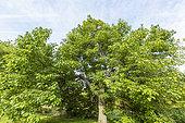 Farges catalpa (Catalpa fargesii), Arboretum of the Ecole du Breuil, France