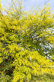 Common honeylocust (Gleditsia triacanthos) 'Shademaster', Arboretum of the Ecole du Breuil, France