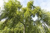 Simon's poplar (Populus simonii), Arboretum of the Ecole du Breuil, France