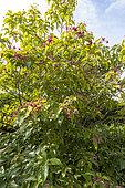 Farges Harlequin glorybower (Clerodendrum trichotomum var. fargesii), Arboretum of the Ecole du Breuil, France